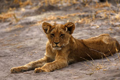 Magnificent Lion cub spotted in the dry desert Royalty Free Stock Images