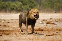 Magnificent Lion Flehmen Response Stock Photo