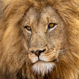 Magnificent lion. Image of a beautiful, healthy male lion taken in Amakosi KwazuluNatal, South Africa Royalty Free Stock Photo