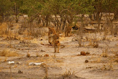 Magnificent Lion pride together on the parched plains of Africa royalty free stock images