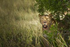 Magnificent lioness with bloody mouth behind the bushes