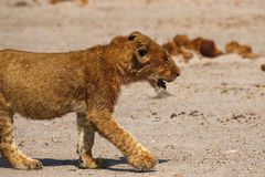 Magnificent Lions cute cub Royalty Free Stock Photo