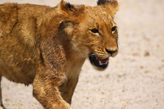 Magnificent Lions cute cub Stock Photography