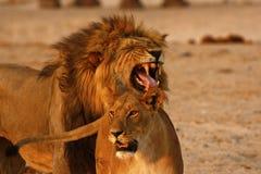 Magnificent Lions Flehmen Response. Flehmen response is a behaviour were the lion curls his upper lip up closes his nostrils this facilitates the transfer of Stock Photos