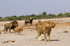 Magnificent Lions Flehmen Response Royalty Free Stock Photos