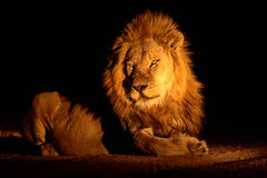 Magnificent male Lion at night Stock Photos