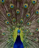 The glory of a peacock royalty free stock image