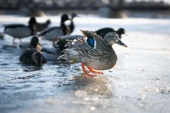 Magnificent mallard female duck shaking of water from its feathers on ice in a beautiful winter sunset light royalty free stock photo