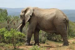 Free Magnificent Muddy Elephant Walking Around Near The Bushes And Plants In The Jungle Stock Photos - 171709973