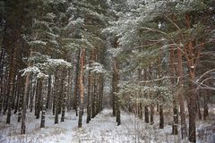 Magnificent and mysterious virgin pine forest in winter. Winter forest, trees, nature is quiet, calm and serene stock photo