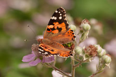 Magnificent orange butterfly. Collects nectar royalty free stock images