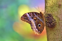 Magnificent Owl Butterfly in Smooth-Colored Background. A Magnificent Owl (Caligo Atreus) butterfly native to Neotropical zone, photographed in Phoenix, Arizona Royalty Free Stock Image
