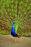 Magnificent peacock Royalty Free Stock Images