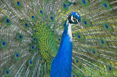 Magnificent Peacock Stock Photography