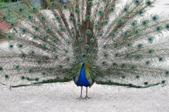 A magnificent peacock in the city park of the Spanish Valladolid Royalty Free Stock Photography