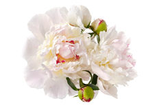 Magnificent peonies Stock Images