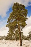 Magnificent pine tree Royalty Free Stock Image