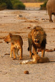 Magnificent Pride of Lions with cubs Stock Photos