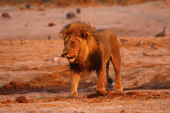 Magnificent Pride of Lions Dad Stock Images