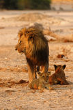 Magnificent Pride of Lions Dad with cubs Royalty Free Stock Images