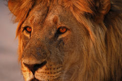 Magnificent Pride of Lions Dad up Close Stock Images