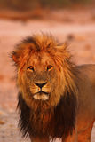 Magnificent Pride of Lions Dad up Close Stock Image