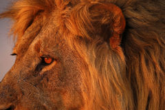 Magnificent Pride of Lions Dad up Close Royalty Free Stock Photos