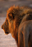 Magnificent Pride of Lions Dad up Close Rear view Stock Images