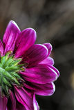 A magnificent purple daisy in a beam of light Stock Photography