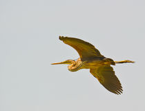 Magnificent Purple Heron. An impressive Purple Heron passes by with the  calm flight  of his powerful wings. Delta del Llobregat  nature reserve, northeastern Stock Photo