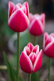 Magnificent purplish-red  and white tulips Stock Photography