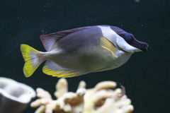 Magnificent Rabbitfish Stock Images