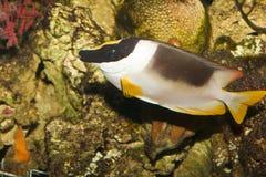 Magnificent Rabbitfish in Aquarium Royalty Free Stock Image