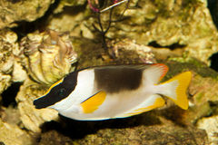 Magnificent Rabbitfish or Foxface in Aquarium Stock Photo