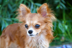 Magnificent red chihuahua dog portrait. Chihuahua dog portrait on a natural greens blured background Royalty Free Stock Images