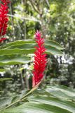 Red ginger flower - tropic plant in rainforest royalty free stock photography