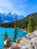 Magnificent red deer in Canadian Rockies stock photo