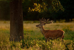 Red Deer Stag Under Tree Stock Photos