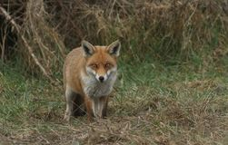 A magnificent Red Fox Vulpes vulpes searching for food to eat at the edge of shrubland. A beautiful Red Fox Vulpes vulpes searching for food to eat at the edge stock images