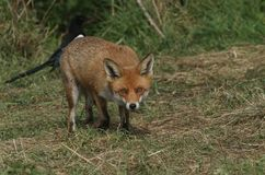 A magnificent Red Fox Vulpes vulpes hunting for food at the edge of shrubland. stock image