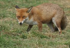 A magnificent Red Fox Vulpes vulpes hunting for food at the edge of shrubland. stock photography