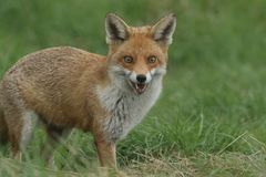 A magnificent wild Red Fox Vulpes vulpes hunting for food to eat in the long grass. A magnificent Red Fox Vulpes vulpes hunting for food to eat in the long royalty free stock images