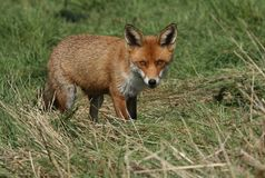 A magnificent wild Red Fox Vulpes vulpes hunting for food to eat in the long grass. royalty free stock photos