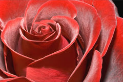Magnificent red rose Royalty Free Stock Images