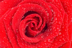 Magnificent red rose with drops of water Royalty Free Stock Photography