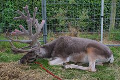 A magnificent reindeer with very large antlers lying own Royalty Free Stock Image