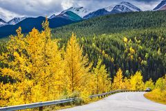 The magnificent Rocky Mountains in Canada. Yellowed slender aspens near the road adjacent to the green spruce. The magnificent Rocky Mountains in Canada. The stock photo
