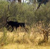 Magnificent Sable Antelope Running Fast. Huge Sable bull antelope moving away from predators Royalty Free Stock Photography