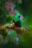Magnificent sacred green and red bird. Birdwatching in jungle. Beautiful bird in nature tropic habitat. Resplendent Quetzal, Pharo. Magnificent sacred green and Royalty Free Stock Photos