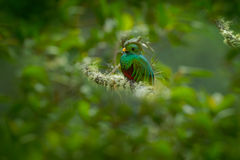 Magnificent sacred green and red bird Resplendent Quetzal (Pharomachrus mocinno) from Savegre in Costa Rica Stock Photos